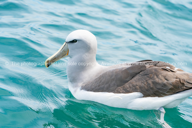 New Zealand coastal seabird
