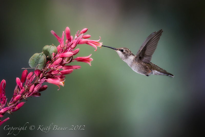Black Chinned Hummingbird - Female sipping from a Red Yucca flower