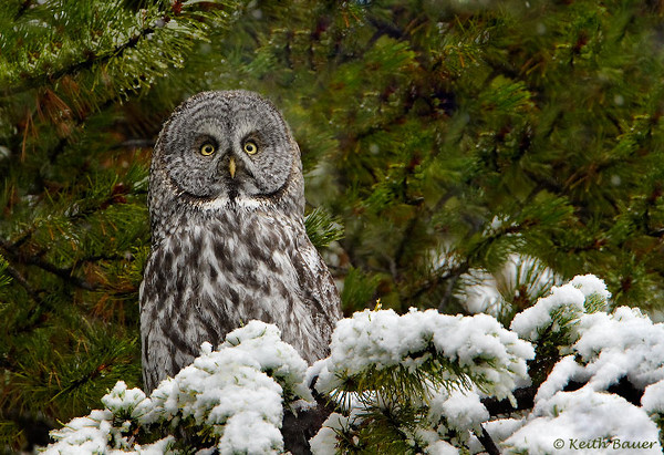 Great Grey Owl - Yellowstone National Park