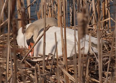 Swan-102
