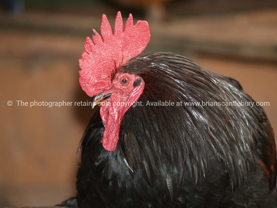 Portrait  black large rooster with bright red comb and wattle.