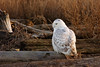 Snowy Owl at Boundary Bay, Delta, BC
