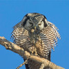 Northern Hawk Owl with Dinner (vole)<br /> Near Edmonton, Alberta
