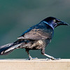 Common Grackle, Male