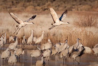 cranes_in_flight_v2L_IR0F1382-1