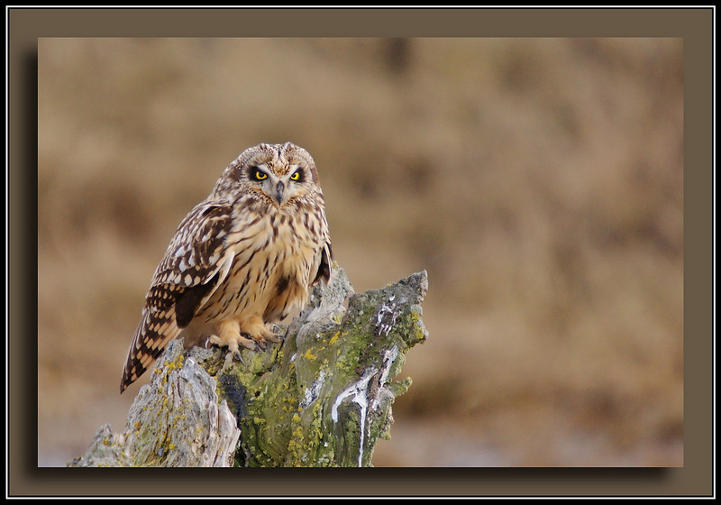 Short Eared Owl at Boundary Bay w/Sony A700 + Sigma 50-500 (Bigma)
