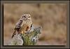 Short Eared Owl at Boundary Bay w/Sony A700 + Sigma 50-500 (Bigma)