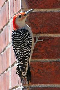 Red Bellied Woodpecker at Old Westbury Gardens