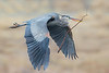 Great Blue Heron with nesting material.