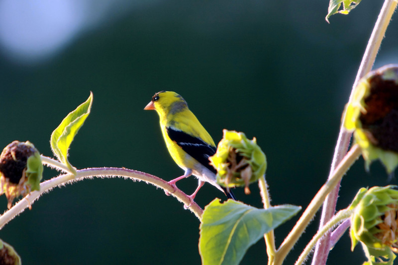 Male Yellow Goldfinch on sunflower plant.