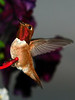 Male Hummingbird at feeder.  Not the best image but the best one I could get of his throat flash.<br /> <br /> 2008-06-17