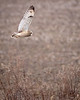 SE Owl flying over dried grass -9745