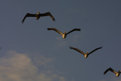 Brown Pelicans,  Florida