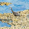 Eastern egret, grey morph