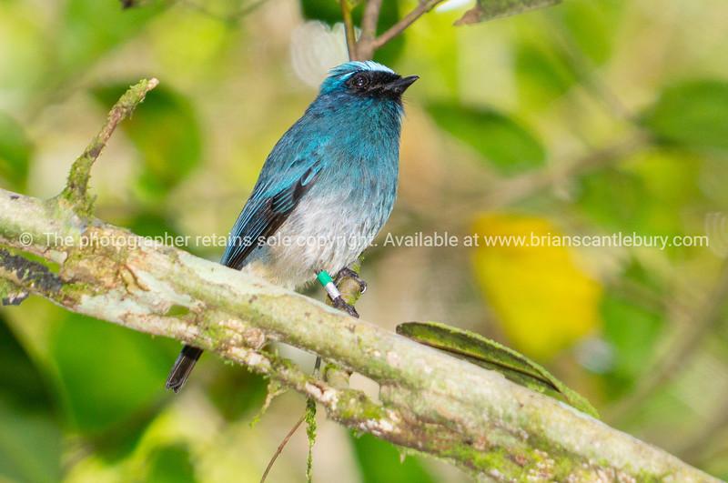 Indigo flycatcher bird on branch