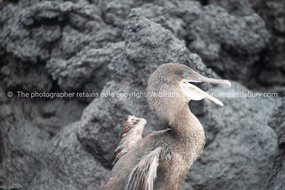 Flightless cormorant, Galapagos Islands.