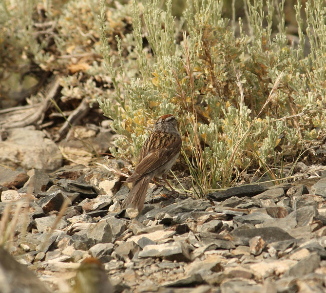 Chipping Sparrow; June 2008; White Mountains, CA about 10,000 feet