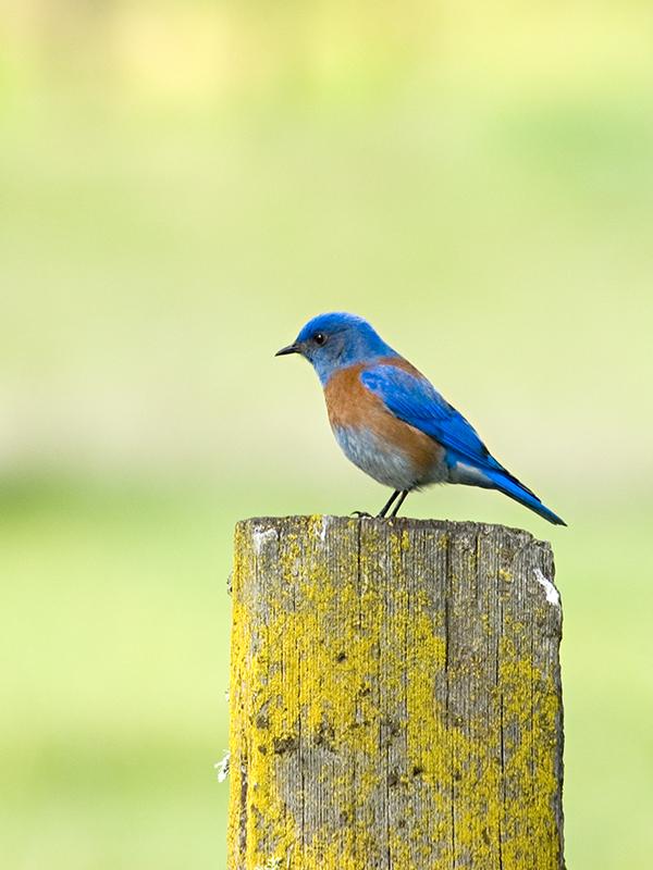 """Western Bluebird""<br /> Ahwahnee, CA"