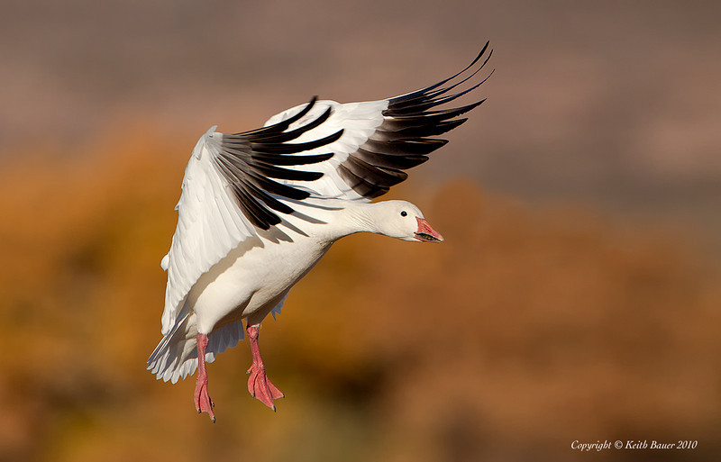Snow Goose Landing - Bosque Del Apache