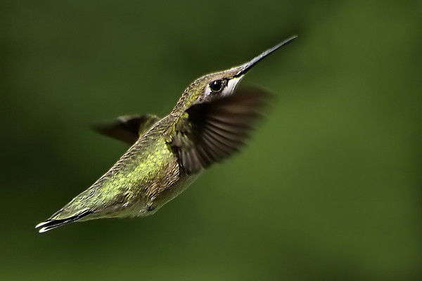 Ruby-throated Hummingbird 4