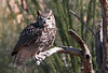 Great Horned Owl   the owl and raven were part of a captive program at the Arizona Desert Museum