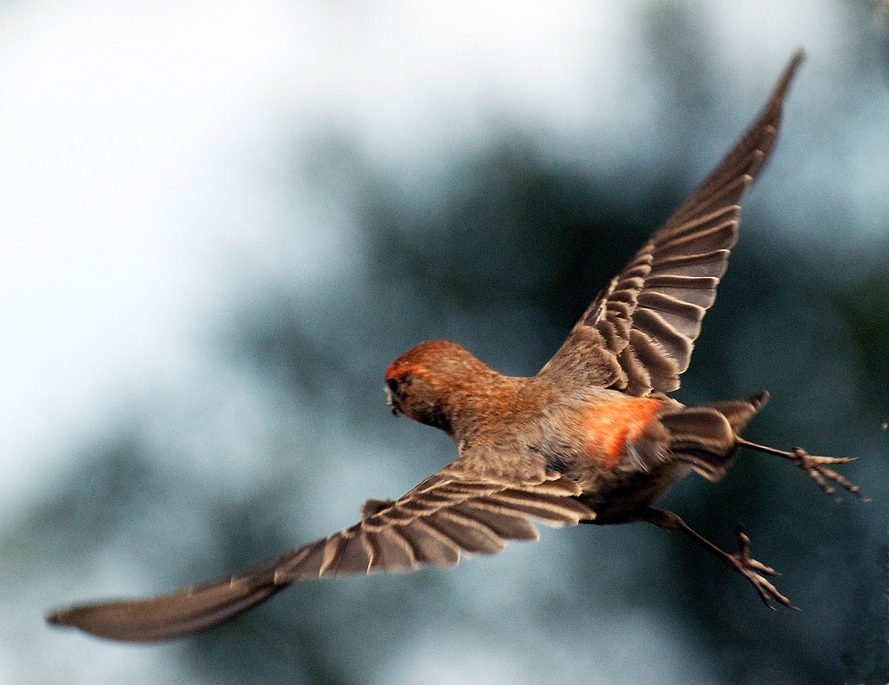 Male house Finch in flight.