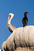 A pelican together with a black bird standing together on a large rock. These coastal birds were resting on rocks near a California beach.