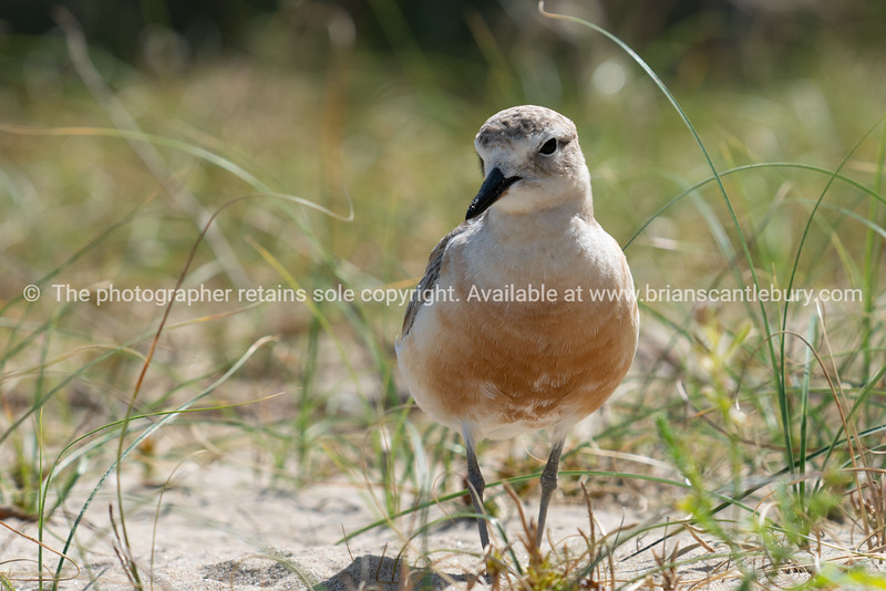 Dotterel on beach