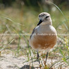 Dotterel on beach