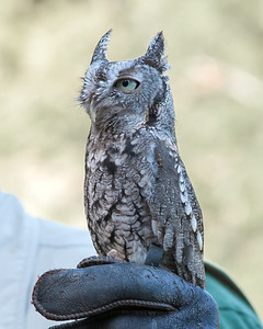 Small Owl at Callaway Gardens, GA