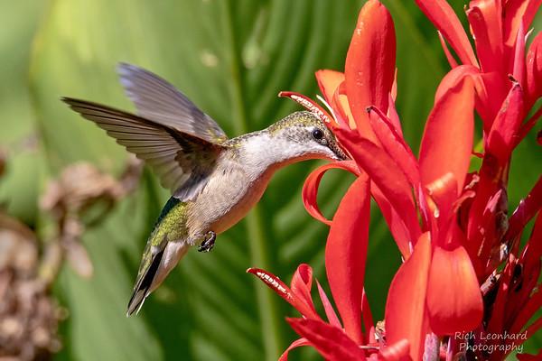 Hummingbird in flight feeding from flower, Long Island, NY.