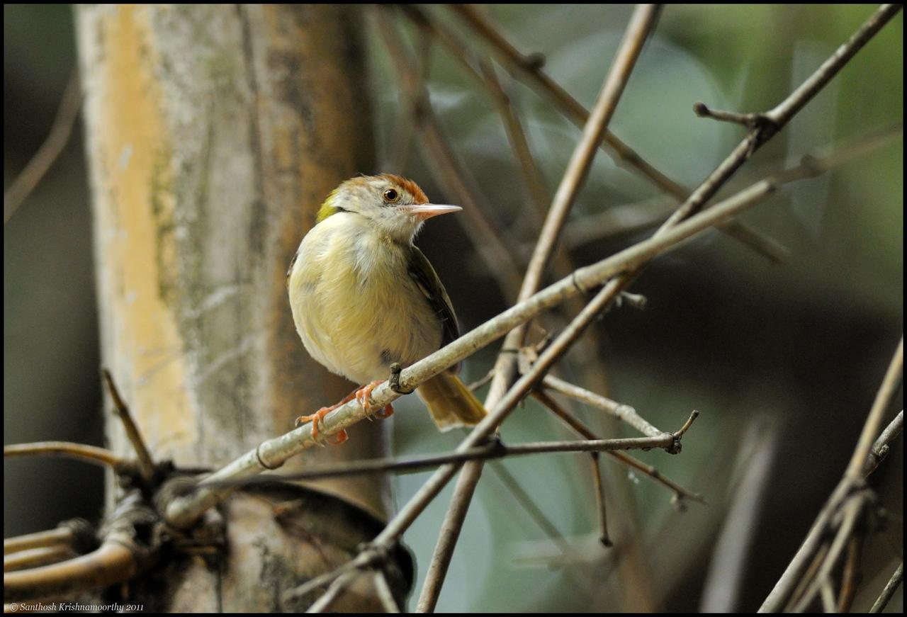 Tailor bird.....