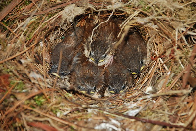 This was their last day in the nest. I came back the very next day and they were gone.   May 22, 2011