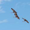 Sandhill Cranes<br /> Whitewater Draw, AZ