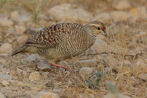 Sandgrouse, Muscat