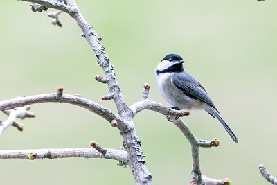 Carolina Chickadee - John James Audubon named this bird while he was in South Carolina. The curious, intelligent Carolina Chickadee looks very much like a Black-capped Chickadee, with a black cap, black bib, gray wings and back, and whitish underside.