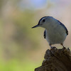 White Breasted Nuthatch, Elizabeth Morton National Wildlife Refuge