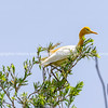 Cattle egret in breeding coloration in tree.