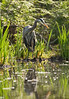 A great blue heron standing at the edge of a marsh is hunting for small fish in the water. It's reflection is visible in the water in the foreground.
