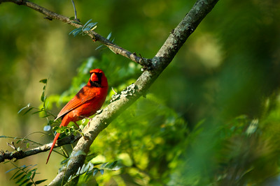 cardinal-16