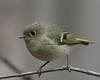 Ruby_Crowned Kinglet