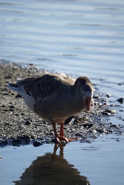 Unidentified Goose