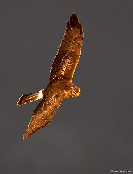 Northern Harrier Against A Stormy Sky
