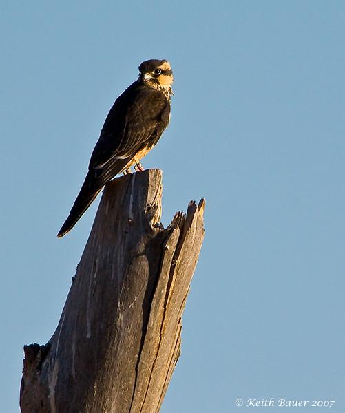 Aplomado Falcon - Bosque Del Apache NWR