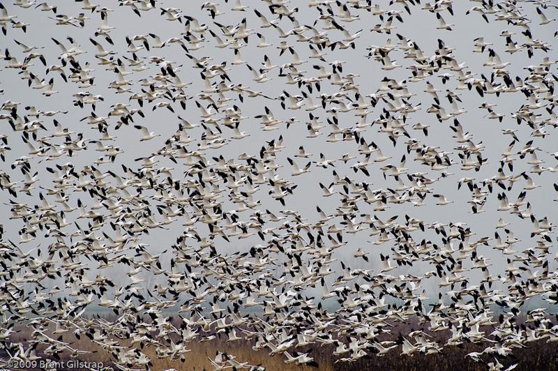 Ross's Geese<br /> <br /> Merced National Wildlife Refuge<br /> 04 February 2009