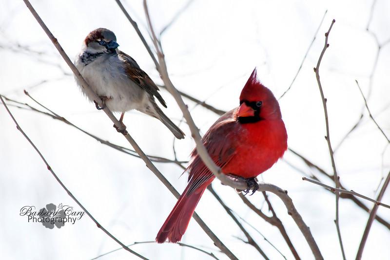 cardinal and sparrow_IMG_5658