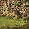 An American green heron (butorides virescens) hunting in a swampy bog.