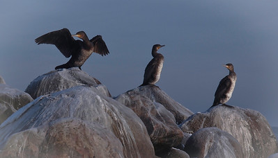 Cormorants in winter. Photo: Martin Bager.