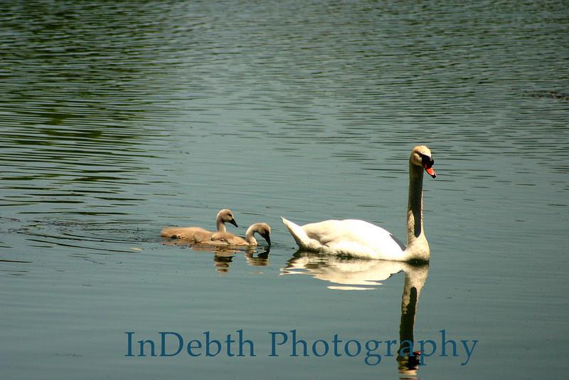 Swans - 7500