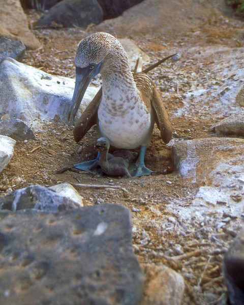 Blue Footed Boobie- Galapagos Islands